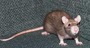 SlabRat... or just a rat